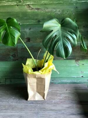 5-27 Community Helper Gift of the Week: Sweet Monstera houseplant