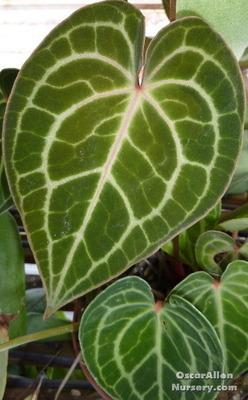 Anthurium clarnervium mature bare root plant