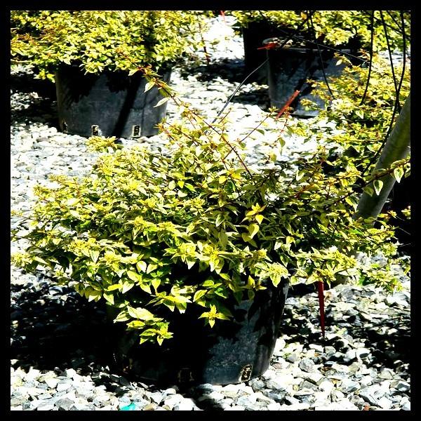 Ab lie grandes fleurs panach arbustes shop en for Arbuste en ligne
