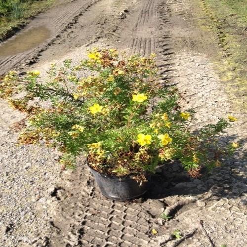 Potentille jaune arbustes shop en ligne p pini re du for Arbuste en ligne