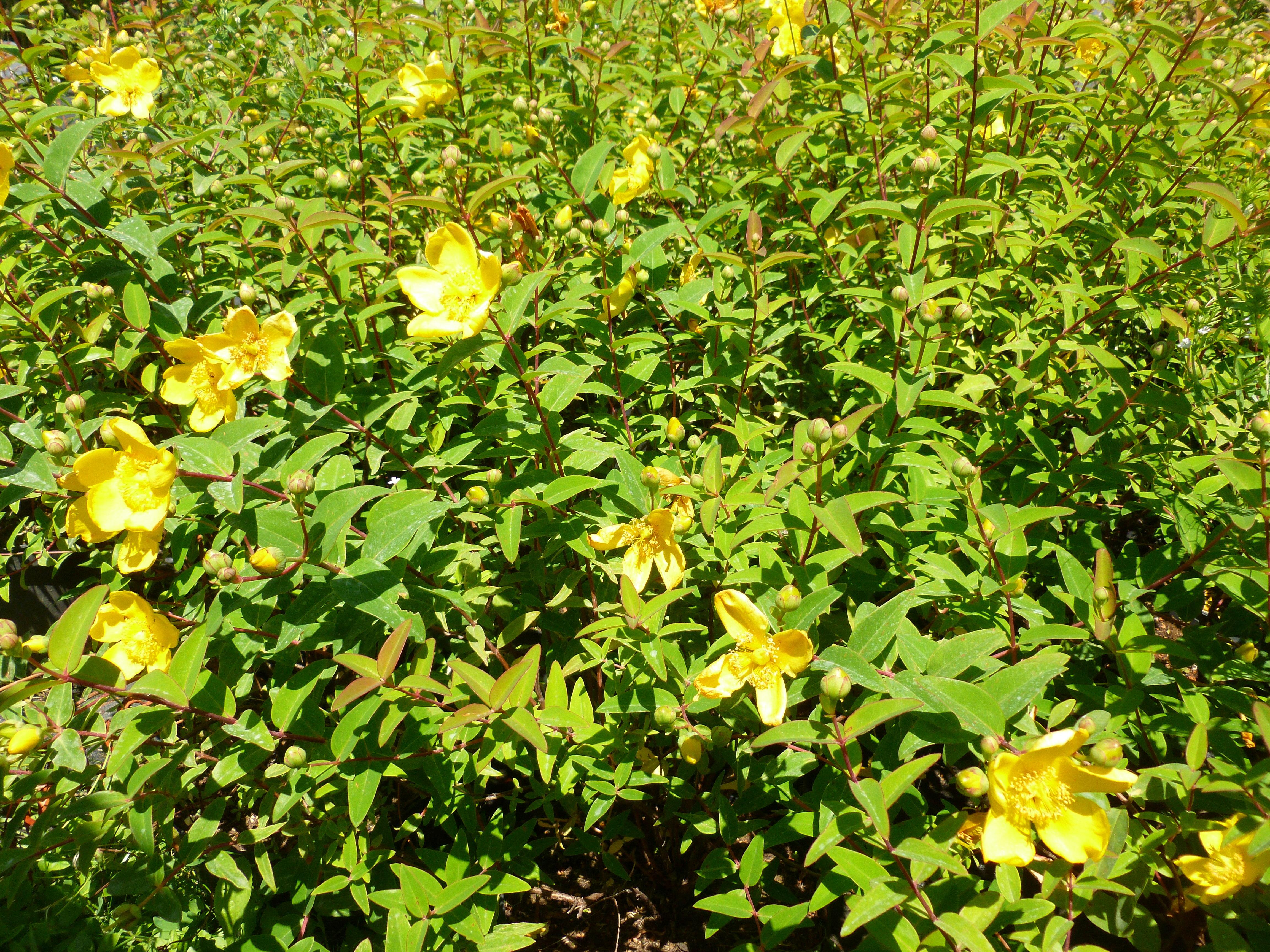Millepertuis 39 hidcote 39 arbustes shop en ligne for Arbuste en ligne