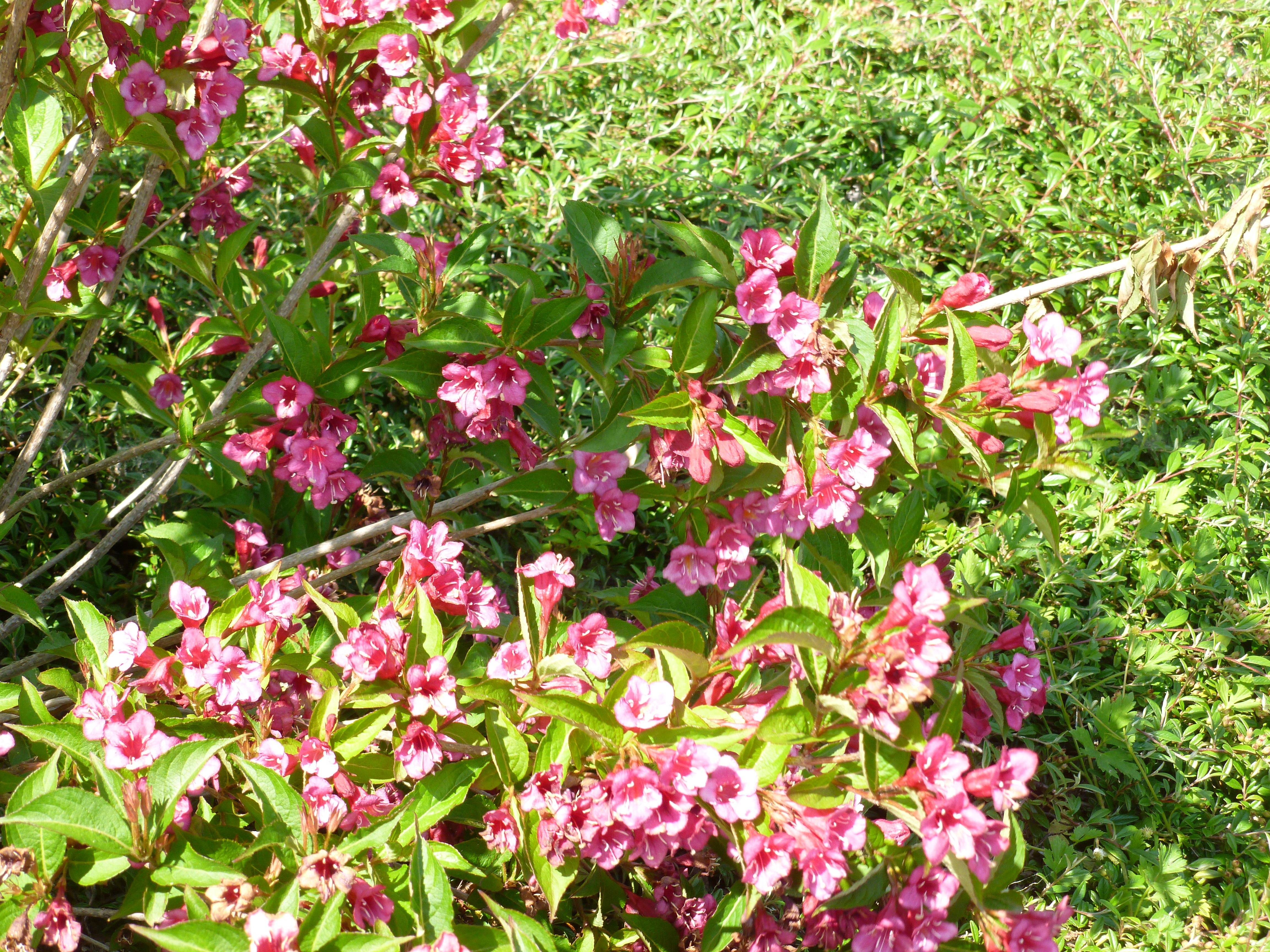 Weigela Rose Ou Rouge Intense Arbustes Shop En Ligne