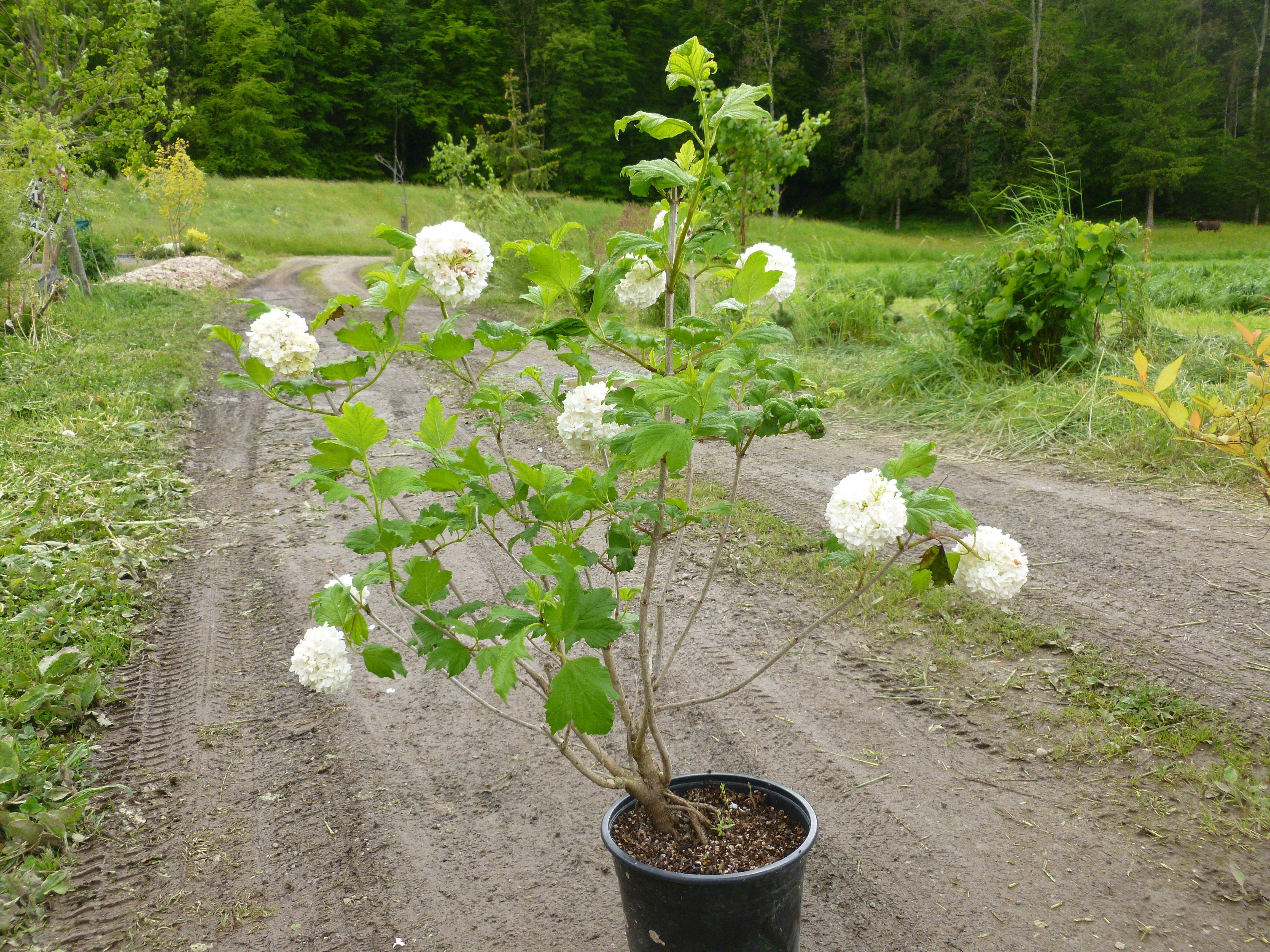 Viorne boule de neige roseum arbustes shop en ligne - Boule de neige plante ...