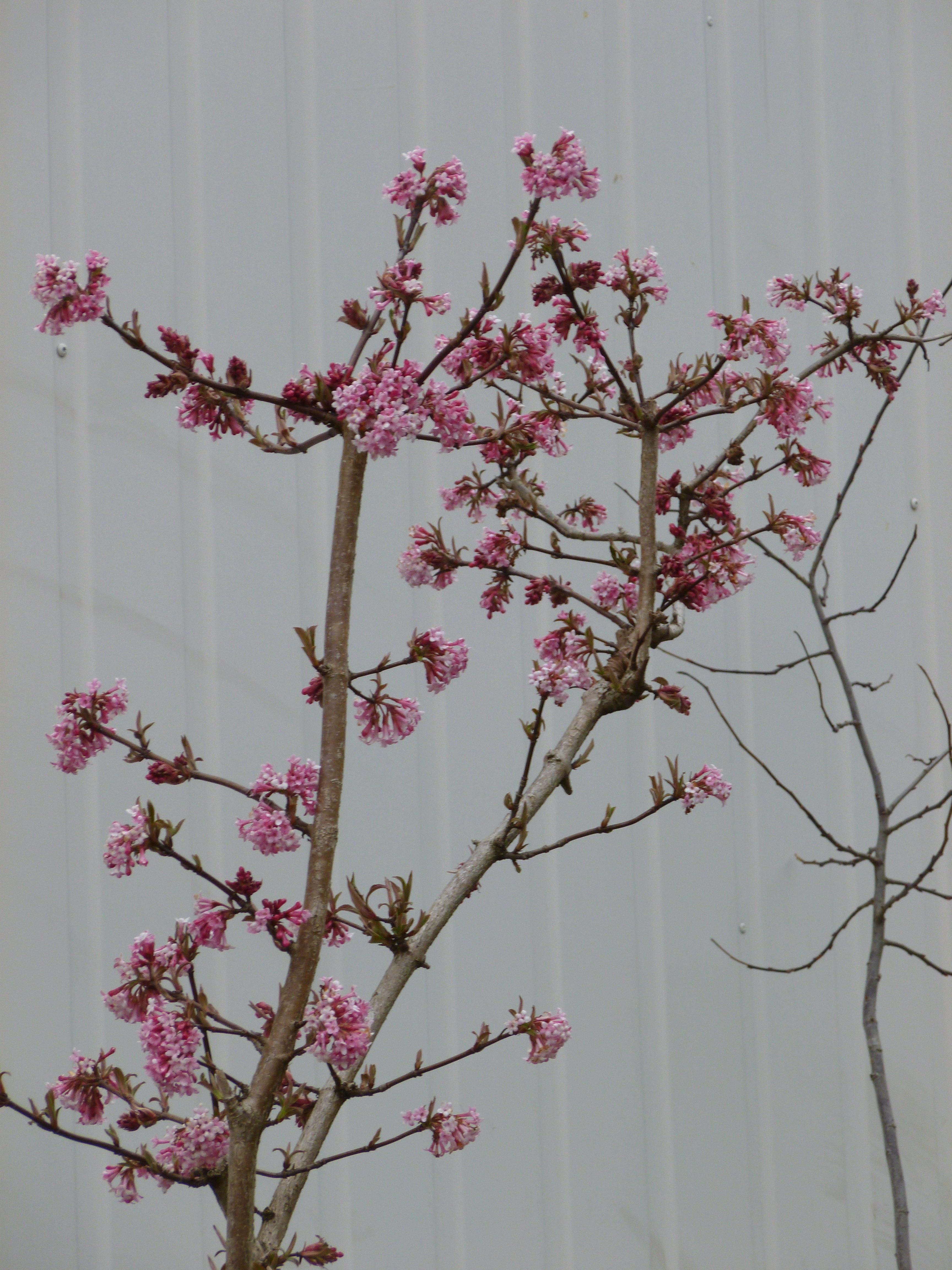 Viorne d 39 hiver dawn arbustes shop en ligne for Pepinieres en ligne