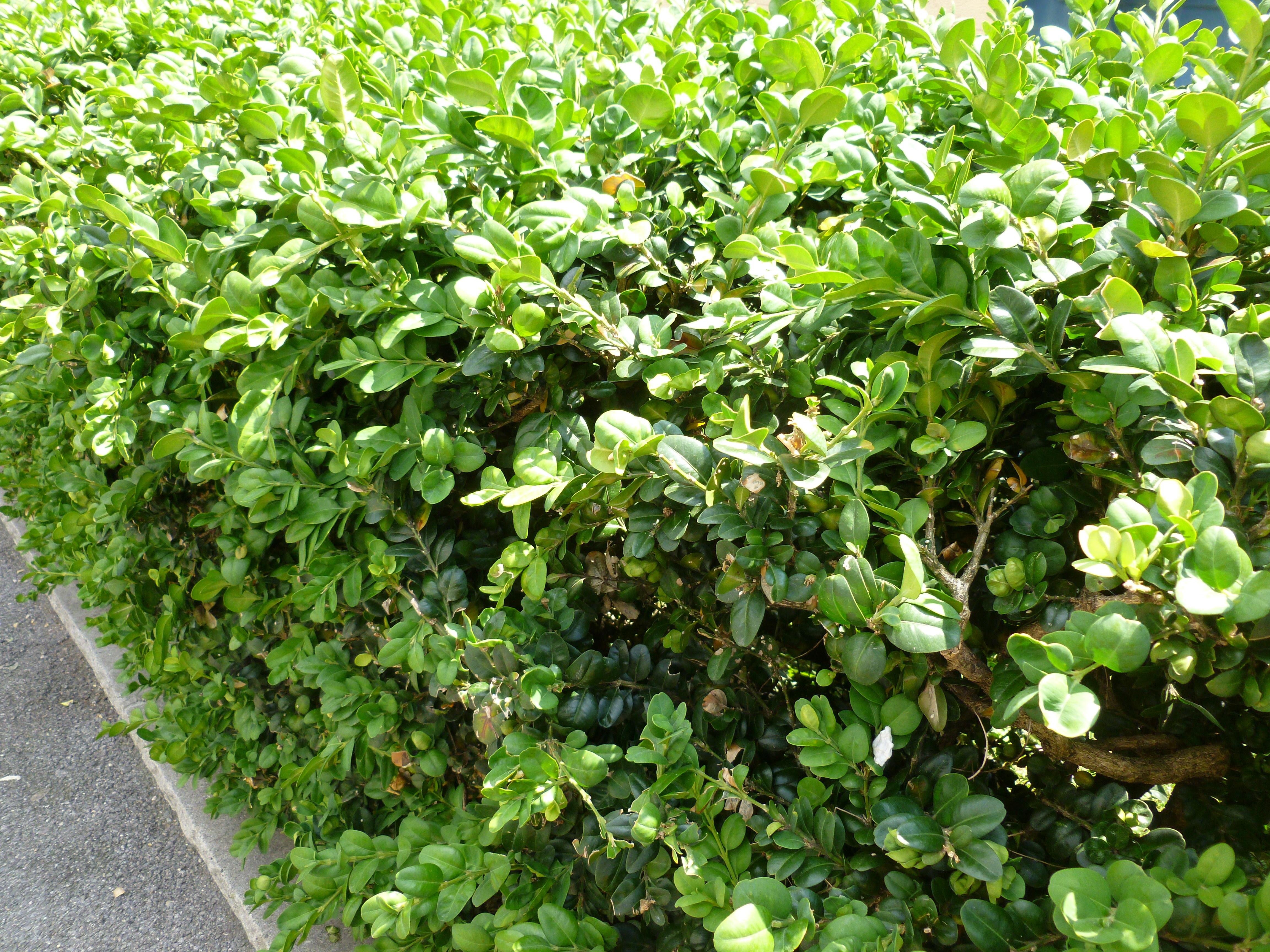 Buis commun grosses feuilles arbustes shop en ligne for Arbuste en ligne
