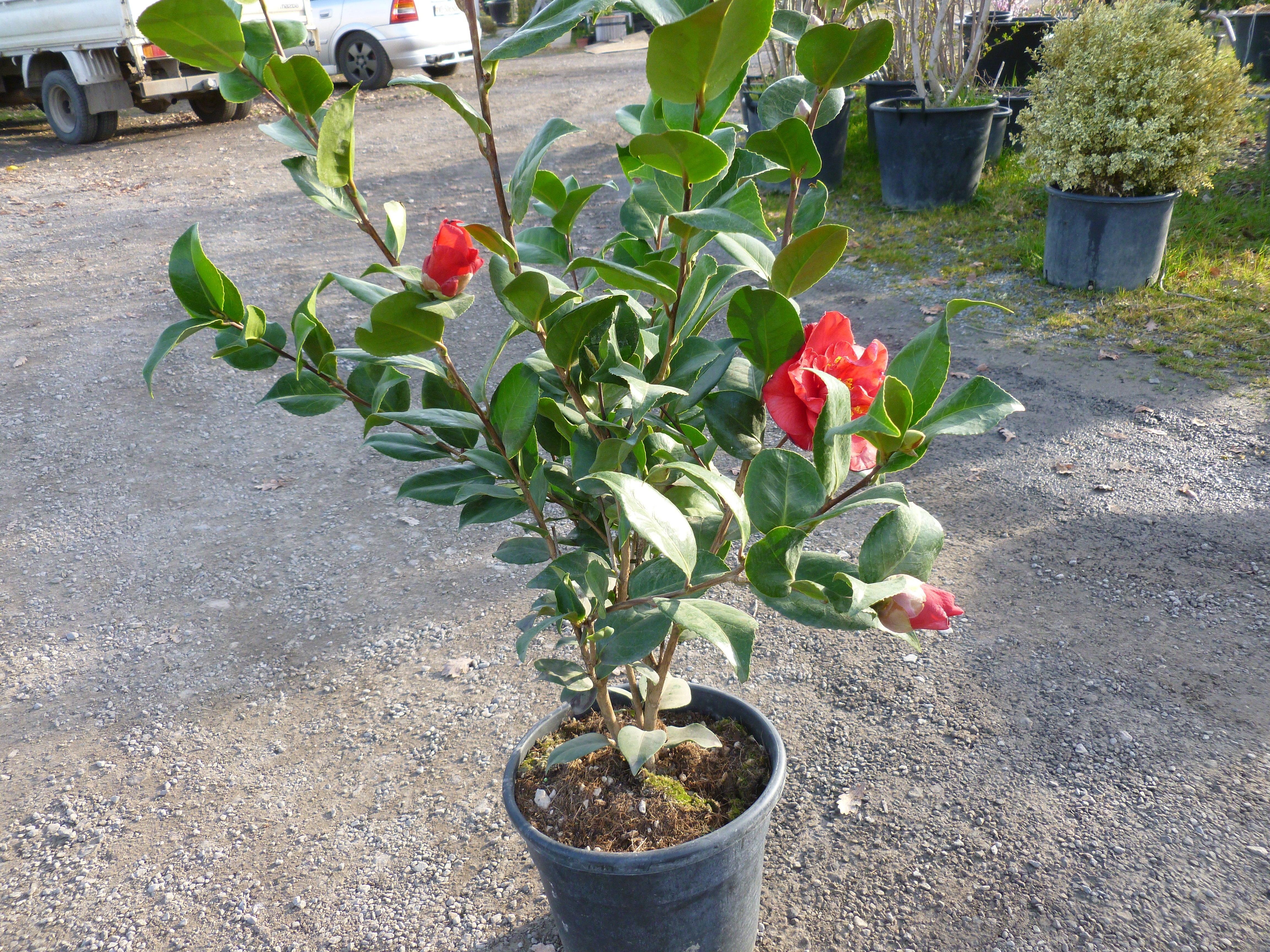 Cam lia du japon arbustes shop en ligne p pini re du for Arbuste en ligne