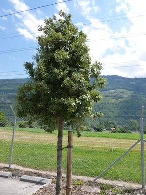 Chêne vert
