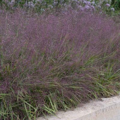 Purple Lovegrass