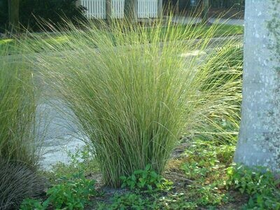 Sand Cordgrass