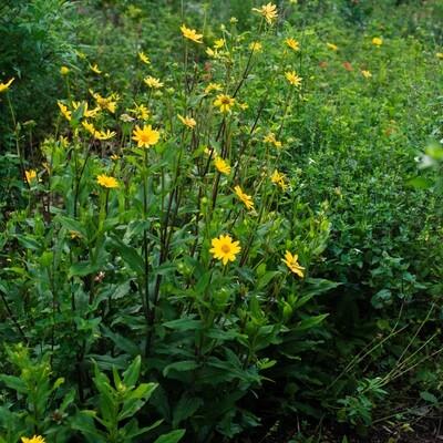 Starry Rosinflower