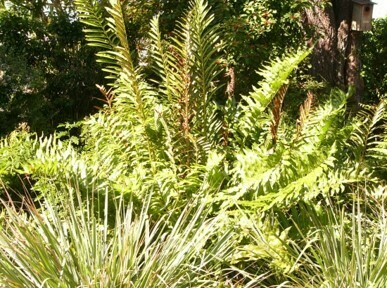 Giant Leather Fern