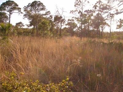 Southern Wiregrass