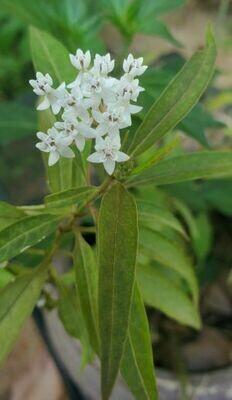 White Swamp Milkweed