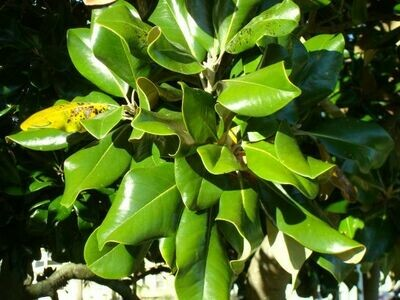 'Southern Seedling' Southern Magnolia