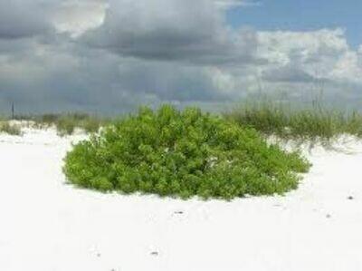 Beach Elder