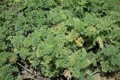 Seaside Ambrosia (Ambrosia)
