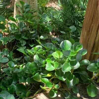 Florida Peperomia (P. obtusifolia)
