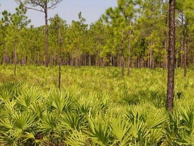 Green Saw Palmetto