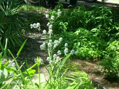 Blueflower Eryngo