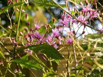 Giant Ironweed