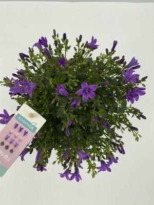 Campanula 'Ambella Intense Purple'