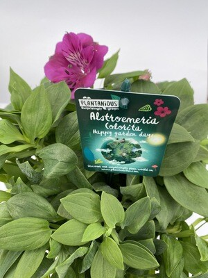 Alstroemeria - Various Colours (Our Selection)