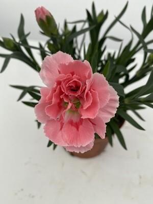 Dianthus 'Amy'