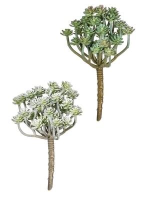 Aeonium Pick