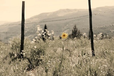Crested Butte Lone Flower Black & White