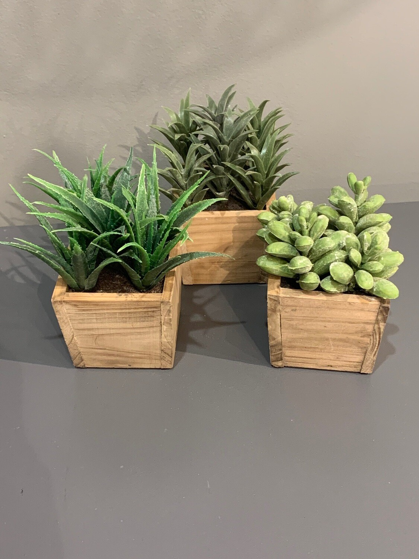 Succulent in Square Pot