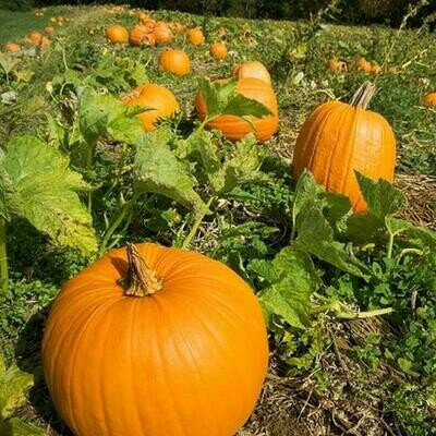 Organic Pumpkin Howden  Seed