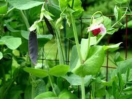 Organic Pea Snow Purple Podded Seed