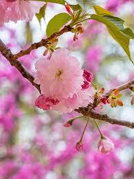 Cherry Flowering Kwanzan