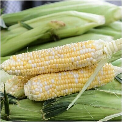 Corn Sweet Butter and Sugar Hybrid Seed