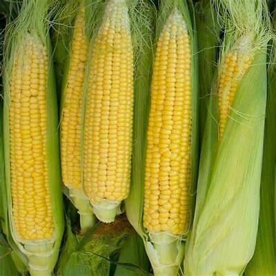Corn Sweet Golden Cross Bantam Hybrid Seed
