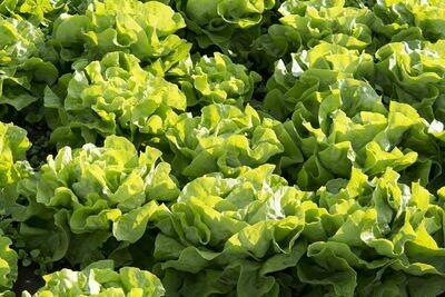 Lettuce Buttercrunch Seed