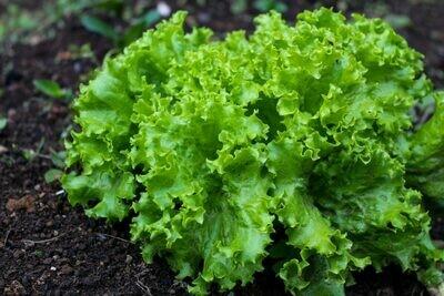 Lettuce Black Seeded Simpson Seed