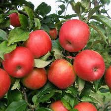 Apple Honeycrisp 7 gal.