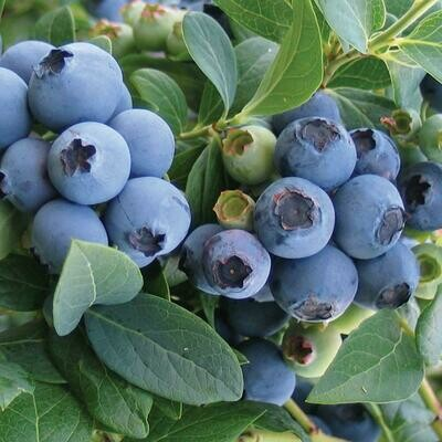 Blueberry Bluecrop 3 gal.