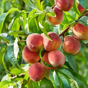 Peach Canadian Harmony 7 gal.