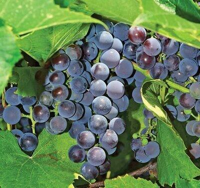 Grape Seedless Concord 2 gal.