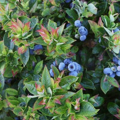 Blueberry Jelly Bean 2 gal.