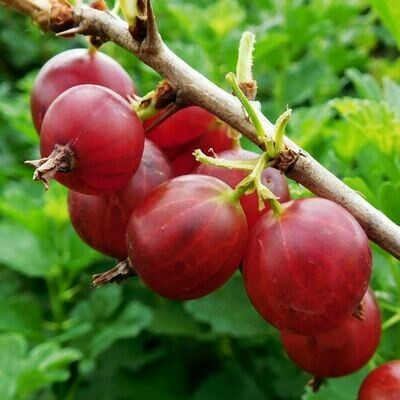 Gooseberry Hinnonmaki Red 3 gal.