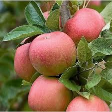 Apple Pink Lady 7 gal.