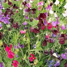 Sweet Peas (Royal Mixed) Seed