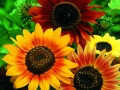 Hart's Special Mix Sunflower (Helianthus Annus)
