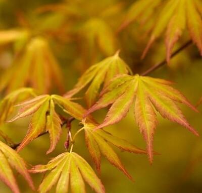 Maple Japanese Orange Dream