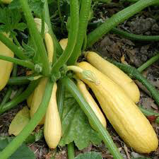 Squash Early Summer Crookneck Heritage Seed