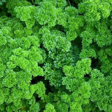 Parsley Moss Curled Seed