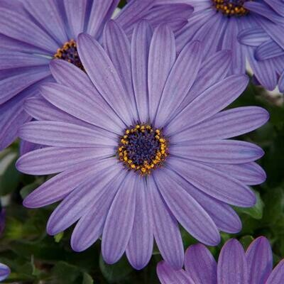 Osteospermum Zion Denim Blue #4